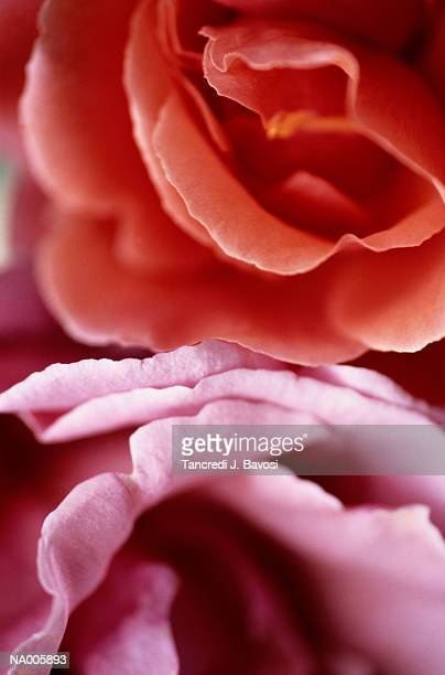 rose - bavosi stock pictures, royalty-free photos & images