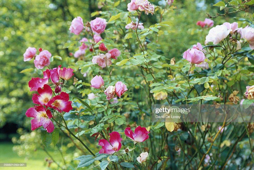 Rose plants : Stock Photo