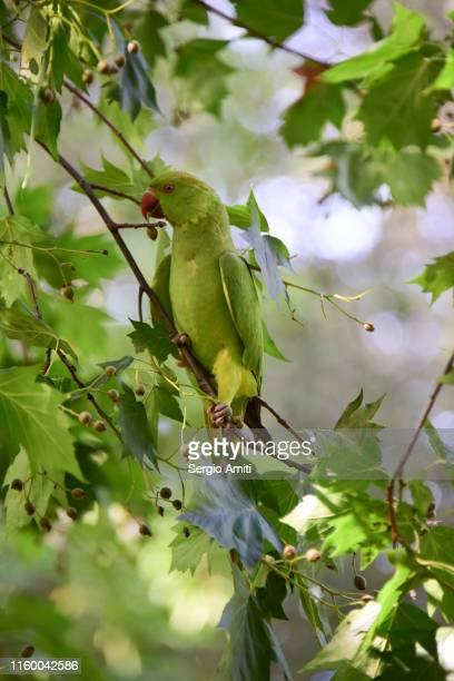 rose ringed parakeet eating sorbus terminals fruits - パラキート ストックフォトと画像