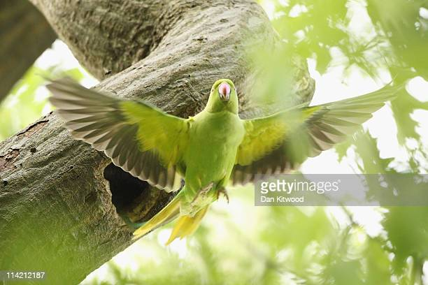Rose Ringed Parakeet looks out of it's nest in a tree in Hyde Park on May 16, 2011 in central London, England. Numbers of the non-native birds which...