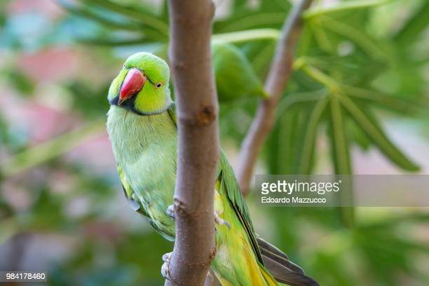 a rose ringed parakeet on a branch. - parakeet stock photos and pictures