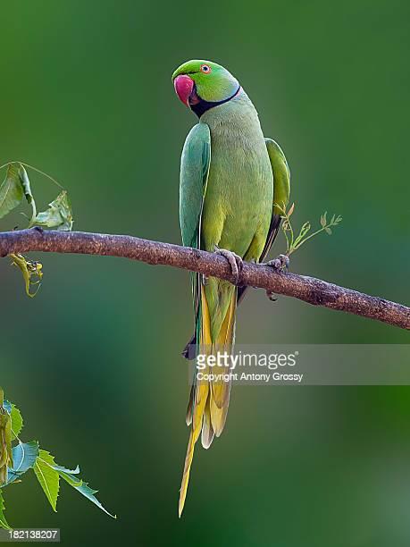 rose ringed parakeet - ワカケホンセイインコ ストックフォトと画像