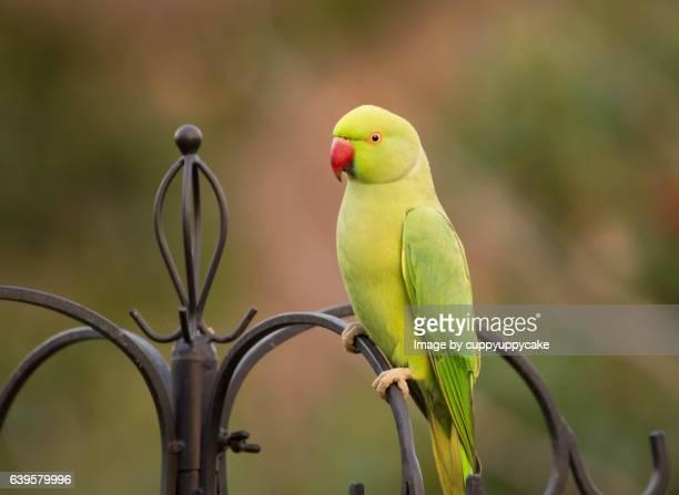 rose ringed parakeet - parakeet stock photos and pictures