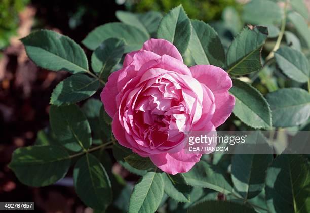 Rose Rosaceae