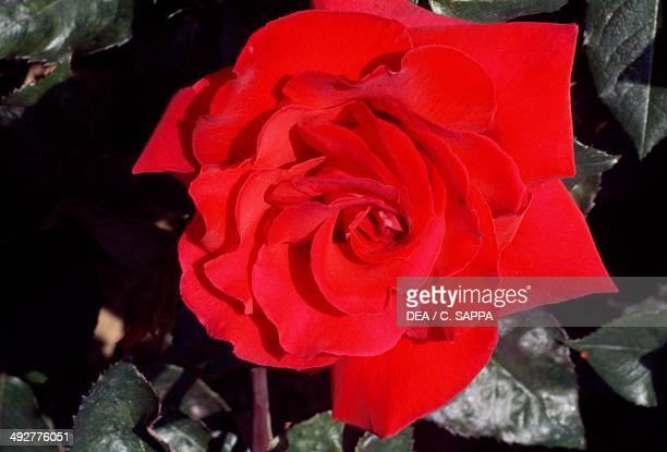 Rose , Rosaceae.