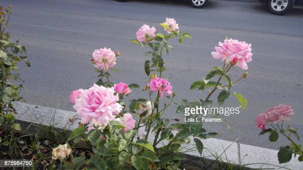 Rose roses on the street