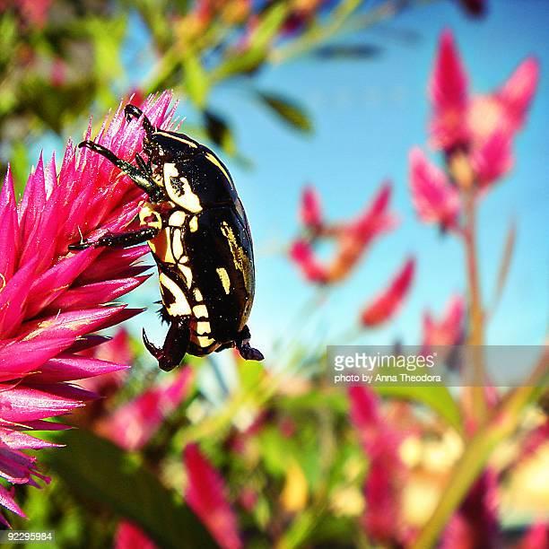 Rose scarab