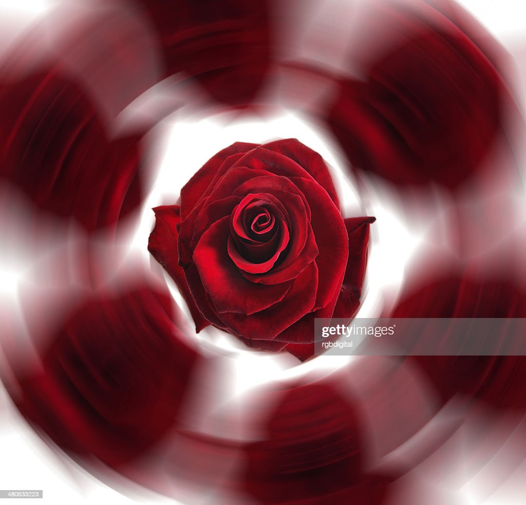 Rose spin : Stock Photo