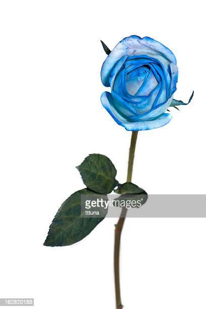 ブルーローズ、スプリング時間の花の自然美