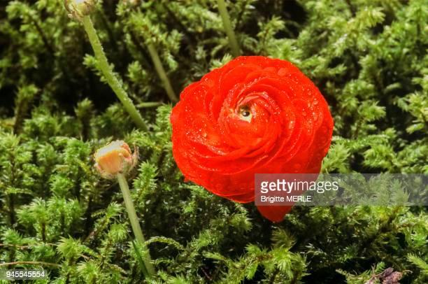 Rose sur une fleur de renoncule
