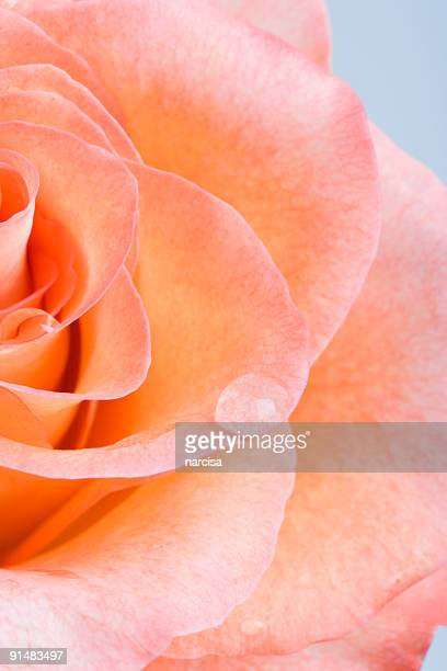 rose tears - peach flower stockfoto's en -beelden