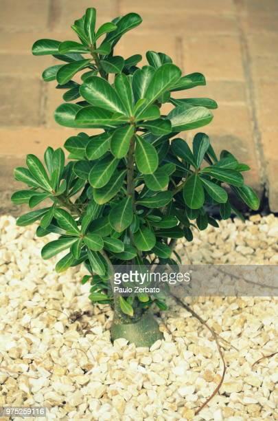 Rose the Desert  ( Adenium obesum)