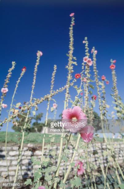 Rose tremiere sur l'ile d'Oleron en CharenteMaritime France