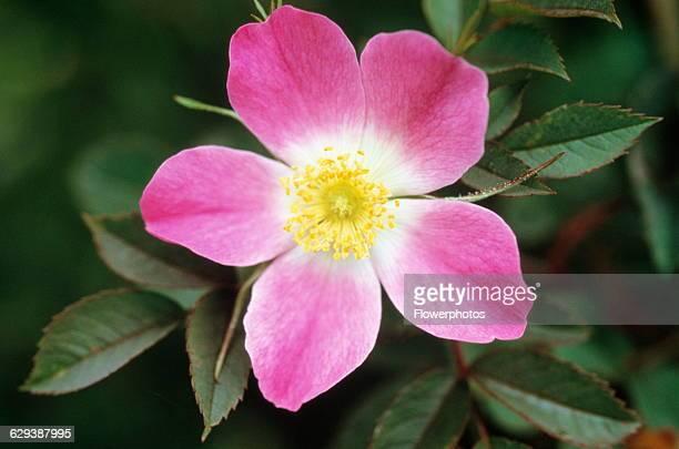 Rose / Wild rose / Dog rose Rosa canina