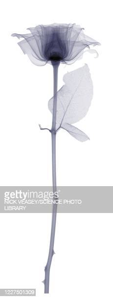 rose with a long stem and one leaf, x-ray - long stem flowers stock pictures, royalty-free photos & images