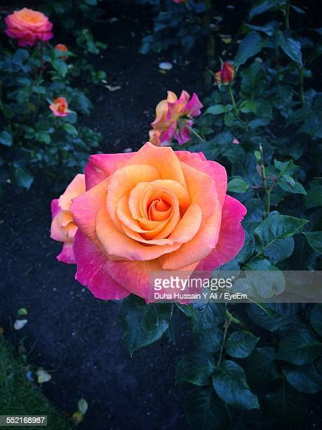 rose with orange and pink petals - ali rose stock-fotos und bilder
