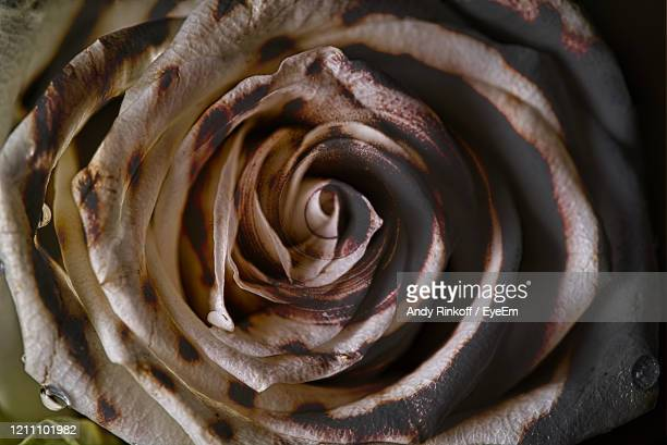 rose with shell overlay - andy rinkoff stock pictures, royalty-free photos & images