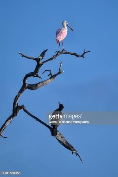 Roseate spoonbill and Cormorant share a snag at sunrise at Babcock Wildlife Management Area near Punta Gorda, Florida