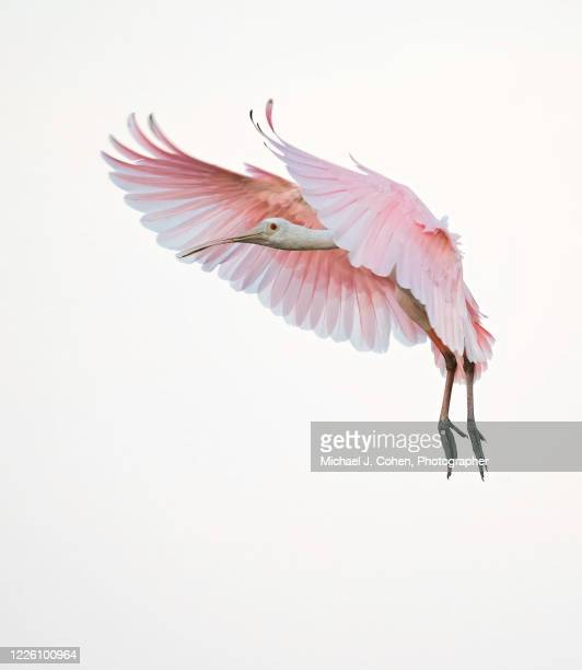 roseate spoonbill high-key with forward swept wings - pájaro tropical fotografías e imágenes de stock