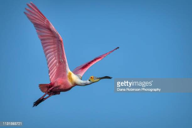 "roseate spoonbill in flight at j.n. ""ding"" darling national wildlife refuge, sanibel island, florida - oiseau tropical photos et images de collection"