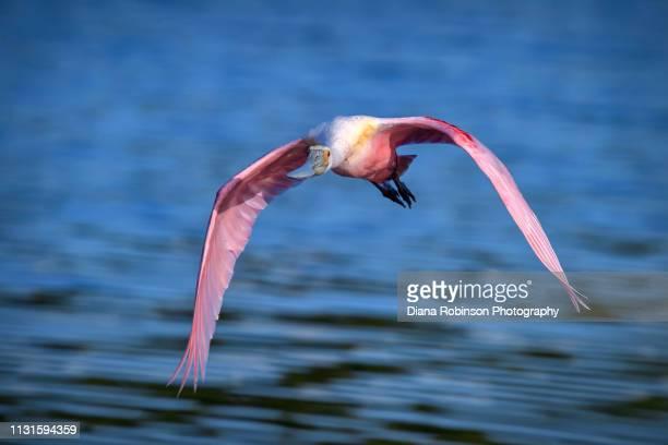 Roseate spoonbill in flight at J.N. 'Ding' Darling National Wildlife Refuge, Sanibel Island, Florida