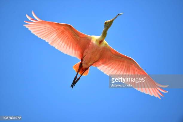 roseate spoonbill in flight - gulf coast states stock pictures, royalty-free photos & images