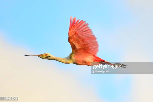 roseate spoonbill in flight - tropical bird stock pictures, royalty-free photos & images