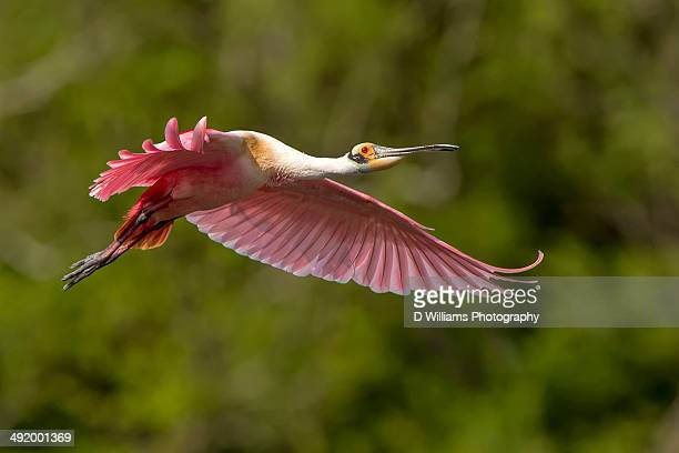 roseate spoonbill in flight - high_island stock pictures, royalty-free photos & images