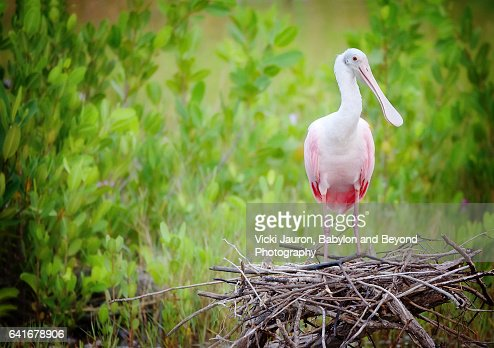 Roseate Spoonbill (Platalea ajaja) on Nest Against Green Foliage
