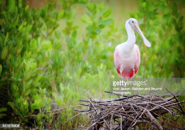 Roseate Spoonbill (Platalea ajaja) on Nest Against Green Foliage