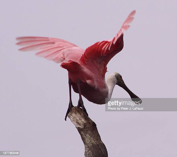 roseate spoonbill - fauci stock pictures, royalty-free photos & images