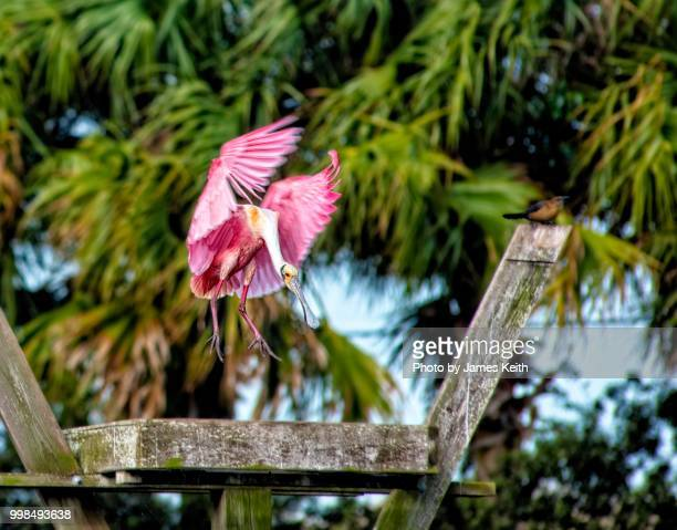 A roseate spoonbill uses its wings to brake itself for a landing on a nesting pad.