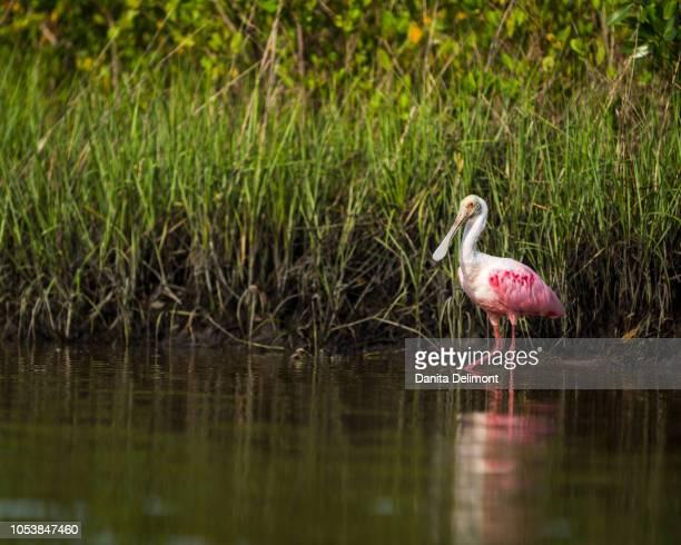 Roseate spoonbill (Platalea ajaja) wading in salt marsh in Tampa Bay, Robinson Preserve, Florida, USA
