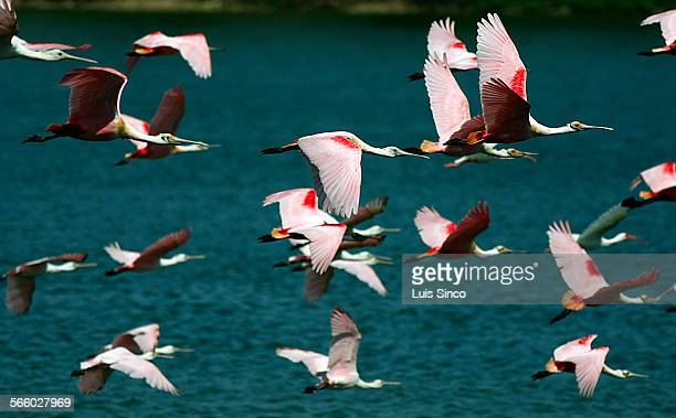Roseate Spoonbills fly across Clay Bottom Pond in High Island Tex a sanctuary for birds that migrate from their breeding grounds in North America to...