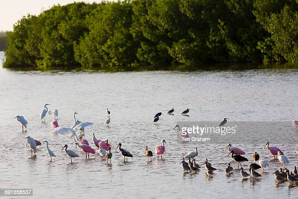 Roseate Spoonbills Platalea ajaja and White Ibis Eudocimus albus and other wading shorebirds on Captiva Island Florida USA