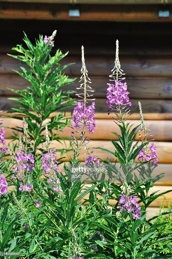 Rosebay (Epilobium angustifolium) : Stock Photo