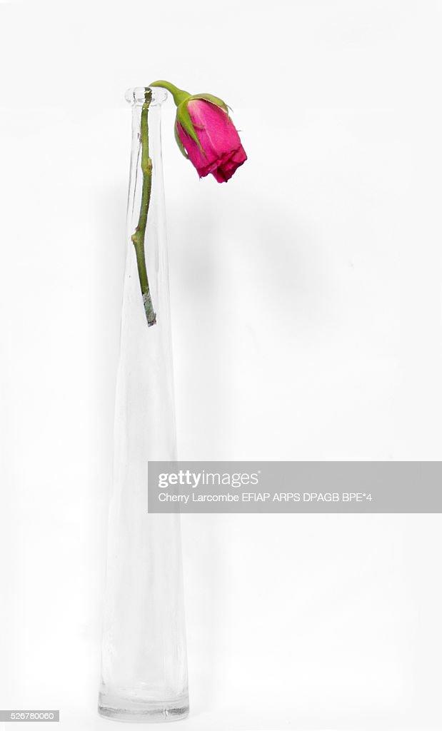 Rosebud In Glass Vase Stock Photo Getty Images
