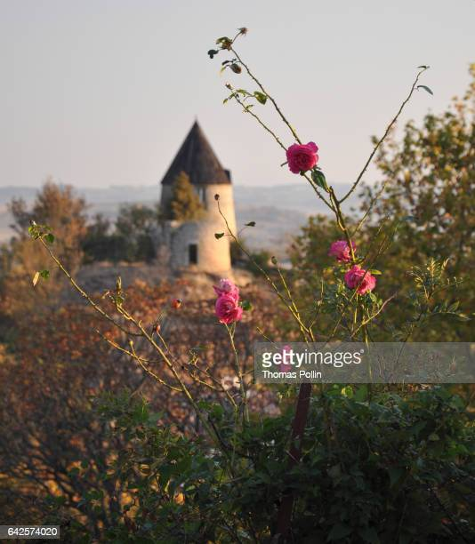 Rosebush and old windmill in the South of France