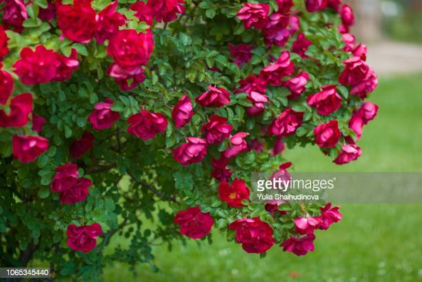 Rosebush close up view