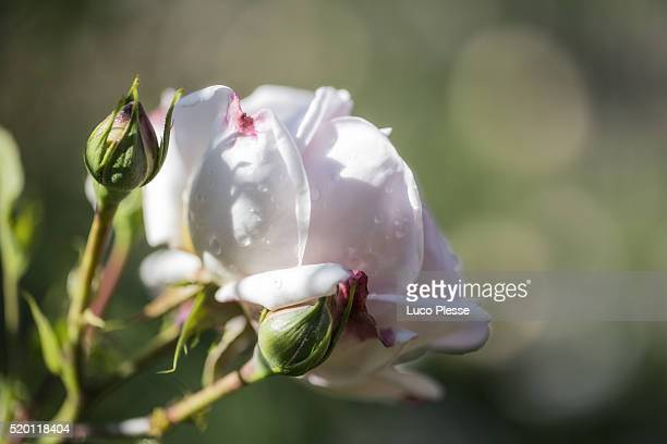 rosebush white flower - dew_point stock pictures, royalty-free photos & images