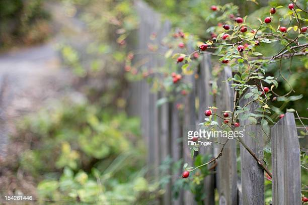 Rosehips and a fence.