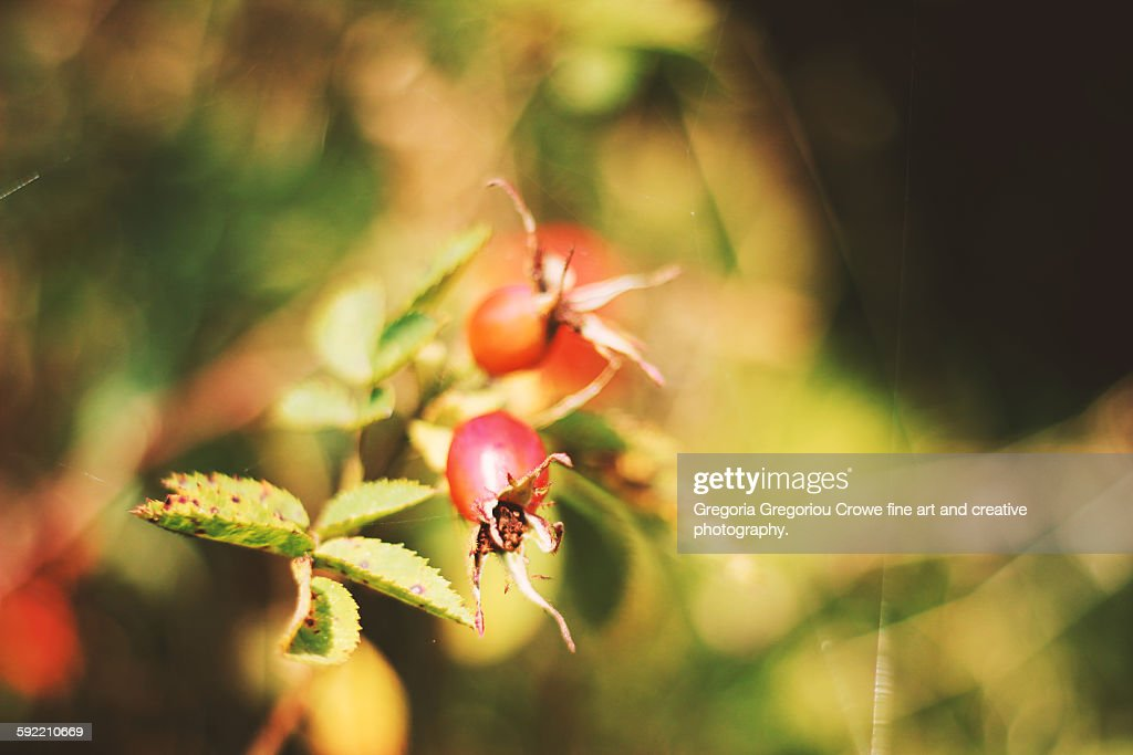Rosehips And Bokeh : Stock Photo