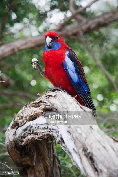 Rosella in natural setting