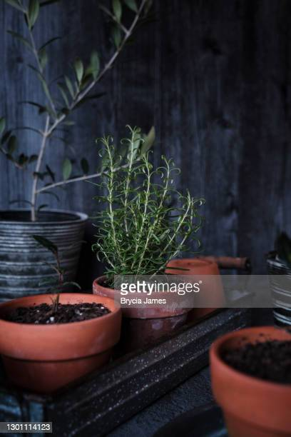 rosemary and bay in a terracotta pot - brycia james stock pictures, royalty-free photos & images