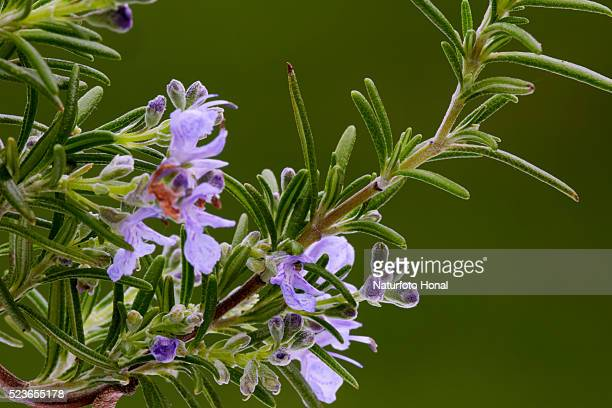 rosemary (rosmarinus officinalis) blooming in a garden - ローズマリー ストックフォトと画像