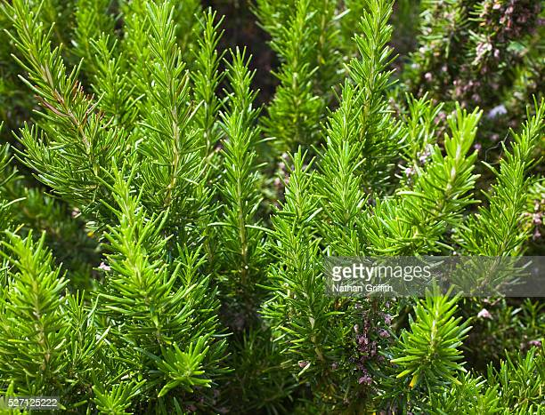 rosemary bush - rosemary stock pictures, royalty-free photos & images
