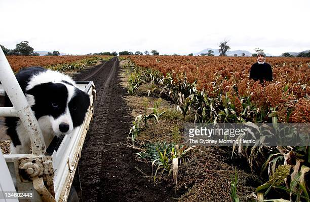 Rosemary Nankivell amongst her crop of Sorghum Her property is located in a soilrich agricultural area of the Liverpool Plains south of Gunnedah in...