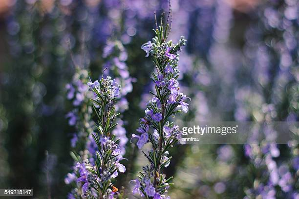 rosemary - annfrau stock pictures, royalty-free photos & images