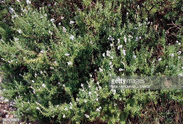 Rosemary plants near Kantanos Crete Greece