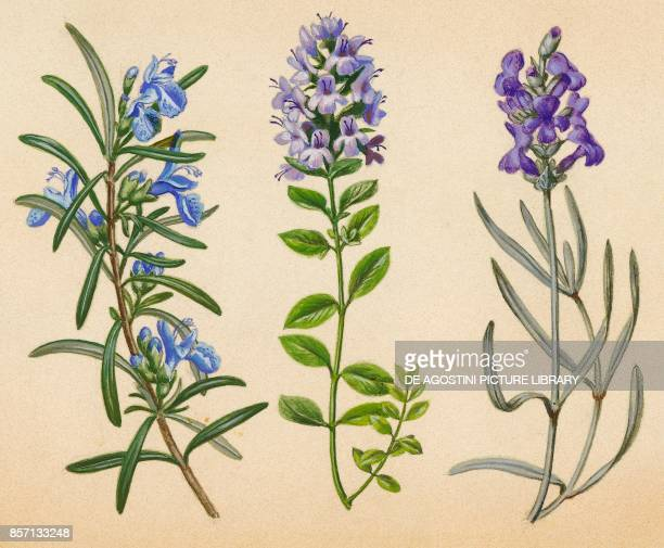 Rosemary thyme lavender drawing